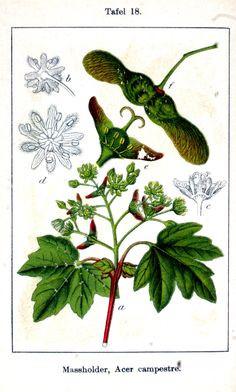 Ausmalbilder Mascha Und Der Bär Genial 79 Besten Botanische Namen Bilder Auf Pinterest Bild