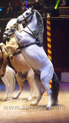Ausmalbilder Pferde Mit Flügel Frisch Die 14 Besten Bilder Von Fahrzeuge Circus Roncalli Bild