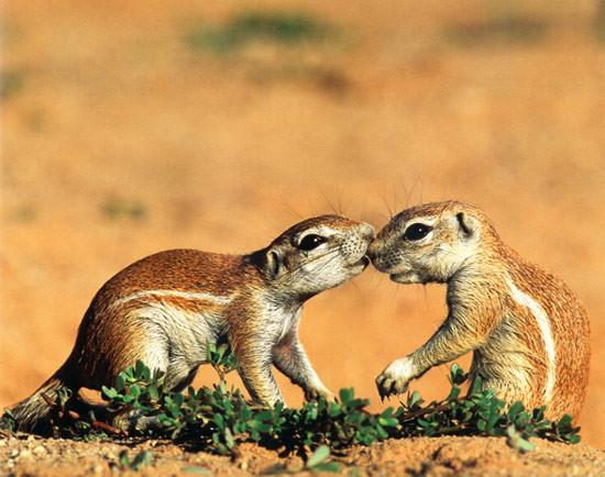 Erdmännchen Zum Ausmalen Genial Tiere In Afrika Afrikas Tiere Nigeria Tiere Goruma Fotografieren