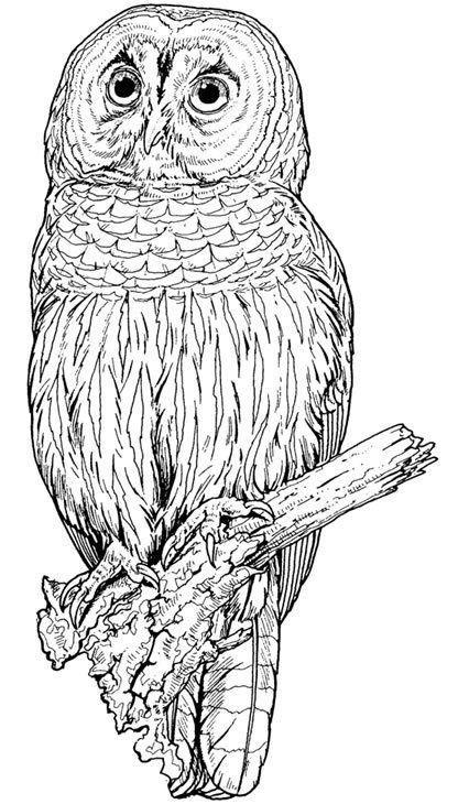 Eule Malvorlage Bunt Einzigartig Eulen Eulen Owl Animal Malvorlagen Das Bild