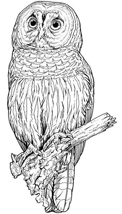 Eule Malvorlage Einfach Das Beste Von Eulen Eulen Owl Animal Malvorlagen Bilder