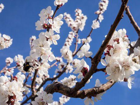 Hummel Bilder Zum Ausmalen Das Beste Von Hummel Und Biene Auf Marillenblüte Graph by Regina Spanny Fotos