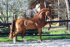 My Little Pony Videos Deutsch Einzigartig 230 Best German Sport Riding Pony Riding Ponies Images On Pinterest Bild