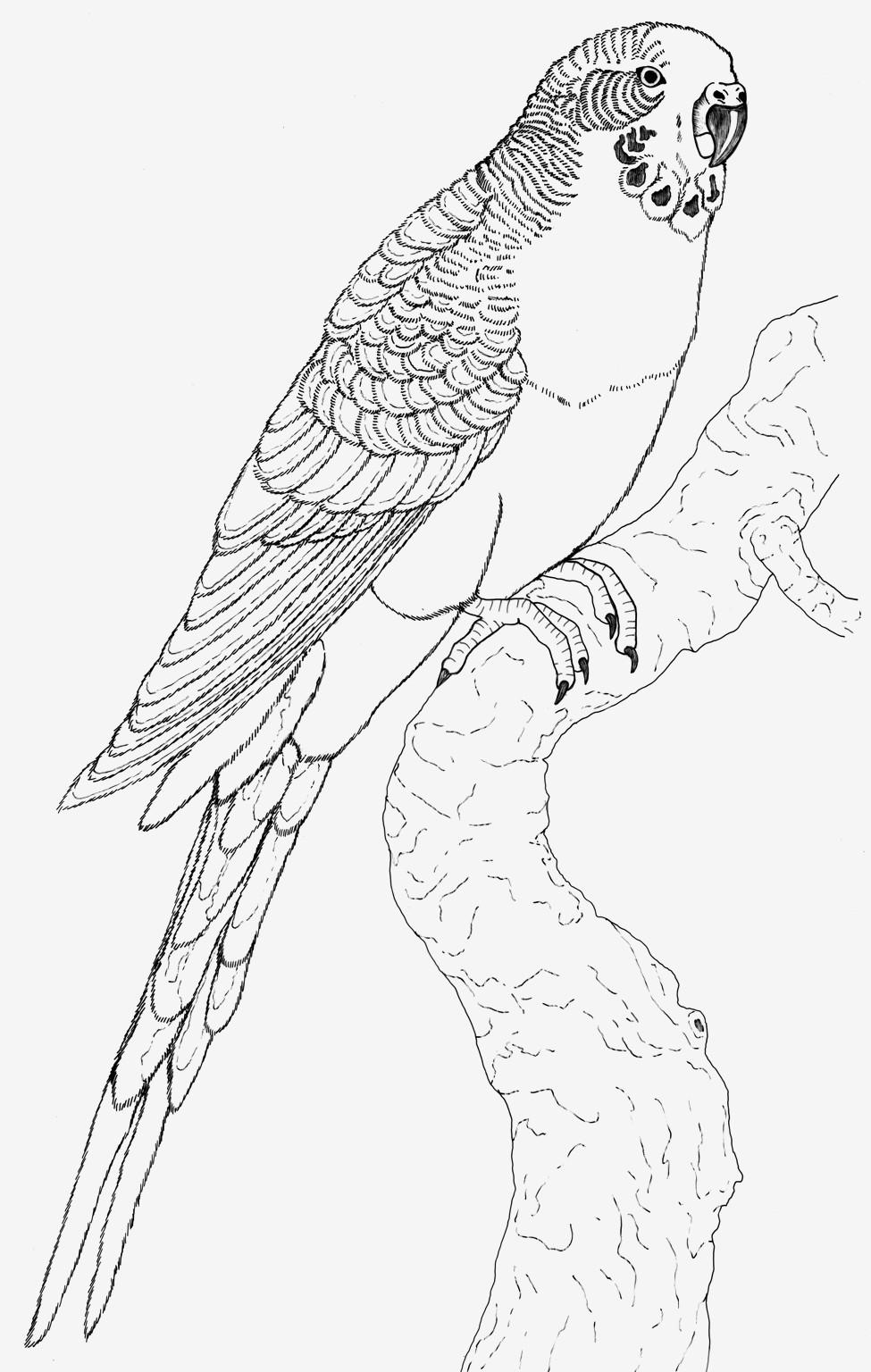 Papagei Zum Ausmalen Frisch 40 Schön Papagei Ausmalbilder – Große Coloring Page Sammlung Das Bild
