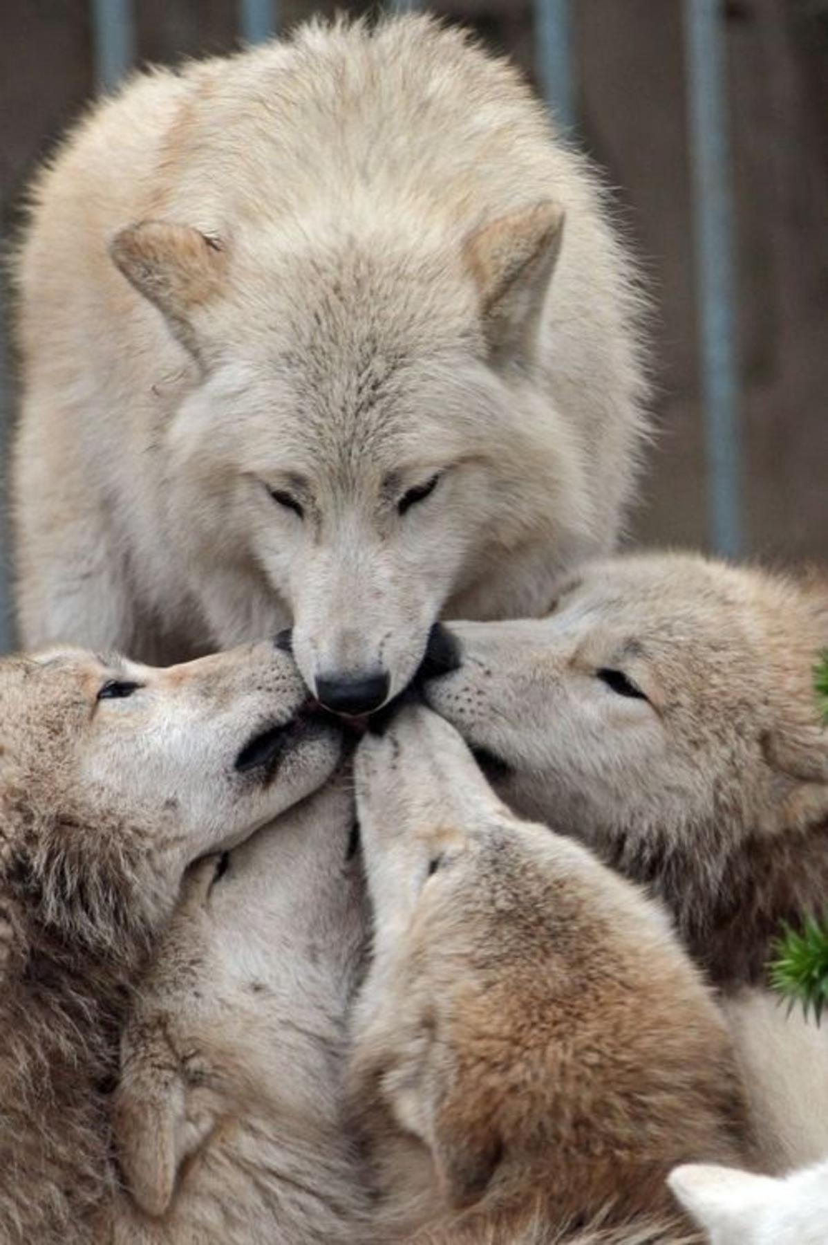 Wolf Bilder Zum Ausmalen Einzigartig Fuchs Bilder Zum Zeichnen Ideal Pin Von Gerald W Auf Wolf Pinterest Stock